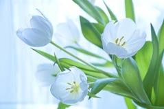 Witte tulpen Stock Foto