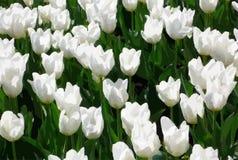 Witte tulpen Royalty-vrije Stock Foto's