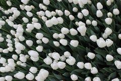 Witte tulpen Stock Fotografie