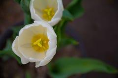 Witte tulpen royalty-vrije stock foto