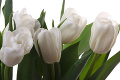 Witte tulpen. Stock Fotografie