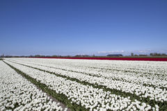 Witte tulpen in de lente Stock Foto
