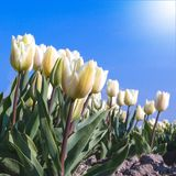 Witte tulpen in de zon Stock Fotografie