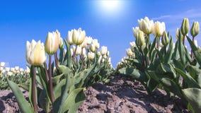 Witte tulpen in de zon Royalty-vrije Stock Foto
