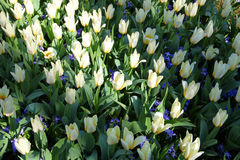 Witte tulpen die in de tuin in de zon groeien openlucht Stock Foto