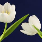 Witte tulpen op blauw Stock Foto