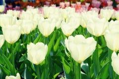 Witte tulpen op bloembed Royalty-vrije Stock Afbeelding