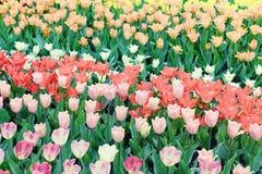 Witte tulpen op bloembed Stock Foto's