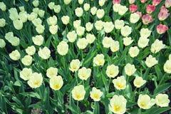 Witte tulpen op bloembed Royalty-vrije Stock Fotografie