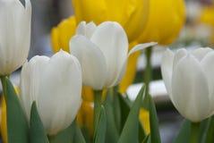 Witte Tulpen op een gebied van Geel stock afbeelding