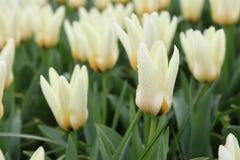 Witte tulpen op gebied royalty-vrije stock fotografie