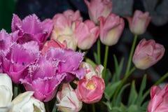 Witte tulpen, purple en roze Royalty-vrije Stock Fotografie