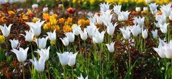 Witte tulpenbloemen. Stock Afbeelding