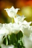 Witte tulpenbloemen in de tuin royalty-vrije stock fotografie