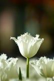 Witte tulpenbloemen in de tuin royalty-vrije stock foto's