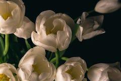 Witte Tulpenbloemen op zwarte achtergrond, macrofoto Stock Fotografie