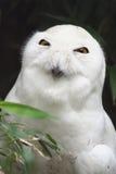 Witte Uil Royalty-vrije Stock Foto