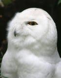 Witte Uil Royalty-vrije Stock Fotografie