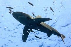 Witte uiteinde oceanic haai Stock Afbeeldingen
