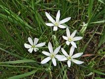 Witte umbellatum van bloemenornithogalum stock foto