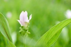 Witte van de tulpenflowerscurcuma van Siam aeruqinosa Roxb kiezelsteenbloemen op het gebied van bloemen Stock Fotografie