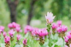 Witte van de tulpenflowerscurcuma van Siam aeruqinosa Roxb kiezelsteenbloemen op het gebied van bloemen, Royalty-vrije Stock Afbeeldingen