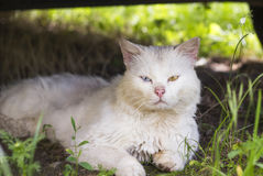 Witte verdwaalde kat met verschillende gekleurde ogen Royalty-vrije Stock Foto
