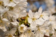 Witte verse appelbloesem in de lente Royalty-vrije Stock Foto's