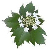 Witte viburnumbloemen met bladeren en knop Royalty-vrije Stock Afbeeldingen