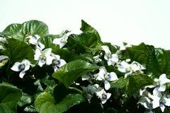 Witte viooltjes Royalty-vrije Stock Afbeeldingen