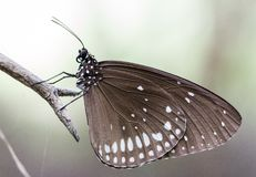 Witte vlekvlinder op de tak stock fotografie