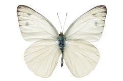 Witte vlinder Royalty-vrije Stock Afbeelding