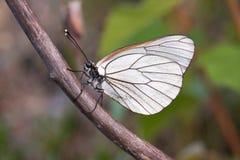 Witte vlinder Stock Afbeeldingen