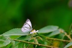 Witte vlinder Royalty-vrije Stock Foto