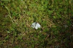 Witte vlinder Stock Afbeelding