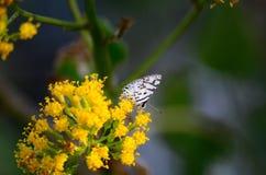 Witte vlinder Royalty-vrije Stock Foto's