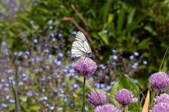 Witte vlinder die in bloemen vliegen Stock Afbeelding