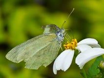 Witte vlinder en bloem stock afbeelding