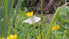 Witte vlinder het drinken nectar stock videobeelden