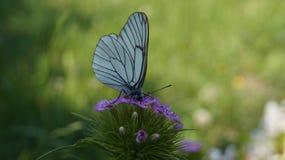 Witte vlinder het drinken nectar van een bloem van kruidnagels stock fotografie
