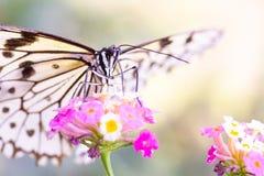 Witte vlinder met zwarte streep, op roze bloem Royalty-vrije Stock Foto