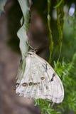Witte vlinder Morpho Royalty-vrije Stock Foto's