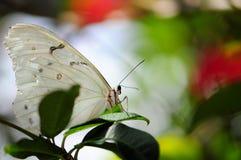 Witte Vlinder Morpho Royalty-vrije Stock Afbeelding