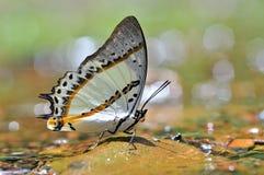 Witte Vlinder op aard stock afbeelding