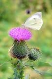 Witte vlinder op een purpere distel Royalty-vrije Stock Foto