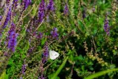 Witte vlinder op lavendel Stock Foto