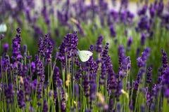 Witte vlinder op lavendelbloemen Stock Foto