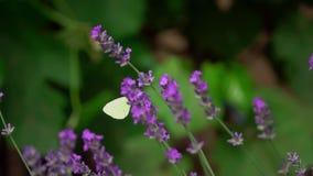 Witte vlinder, Pieris-brassica, op lavendelbloemen stock footage