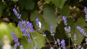 Witte vlinder, Pieris-brassica, op lavendelbloemen stock video