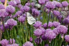 Witte vlinders die in bloemen vliegen Royalty-vrije Stock Foto's